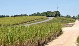 Roads through the cane Stock Images