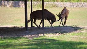 Two Roan Antelopes attack each other near gazing, middle shot, stabilized. Clip of two Roan Antelopes attack each other near gazing, middle shot, stabilized stock video