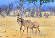 Two Roan Antelopes on the Hwange Plains Stock Photos