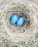 Two Robin Eggs Royalty Free Stock Photography