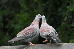 Two rock doves Culumba guinea kissing Royalty Free Stock Photography