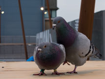 Two Rock doves getting ready for mating Royalty Free Stock Photos