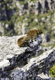 Two rock hyrax dassie at Table Mountain royalty free stock photo
