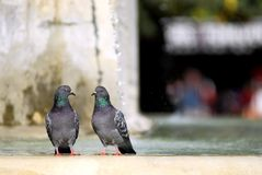 Two rock pigeons Royalty Free Stock Photography