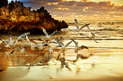 Two Rocks Sunset - Perth Australia. Golden sunset with gulls on the coast Perth WA Royalty Free Stock Images