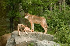 Two rocky mountain wolves on rock Royalty Free Stock Images