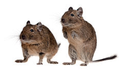 Two rodent degu. Two funny degu pets isolated on white Stock Image