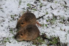 Two rodents are looking for food in the winter forest stock image