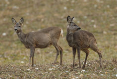 Two roe deer does in a field. One is urinating Stock Images