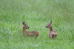 Two Roe deer fawns Stock Images
