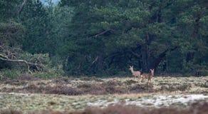 Two roe deer in winter heather landscape. Two roe deer in a winter heather landscape Stock Images