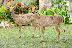 Two roe deers Royalty Free Stock Image