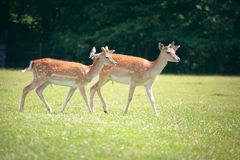 Two roe deers on a meadow Royalty Free Stock Photo