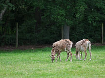Two roe deers standing and eating grass in the green field Stock Photography