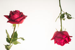 Two romantic red rose border white background Stock Photos