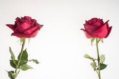 Two romantic red rose border white background Stock Photo