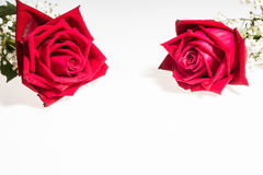 Two romantic red rose border white background. Two romantic red rose, symbolic for love, on white background a gift for loved one on Valentines or anniversary Stock Photography