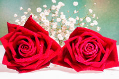 Two romantic red rose close up. Symbolic for love, on white background a gift for loved one on Valentines or anniversary Stock Photos