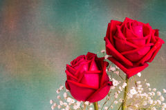 Two romantic red rose close up. Symbolic for love, on white background a gift for loved one on Valentines or anniversary Royalty Free Stock Image