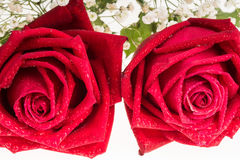Two romantic red rose  white background Royalty Free Stock Photography