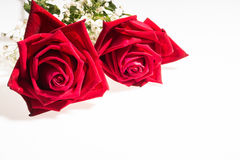 Two romantic red rose  white background. Two romantic red rose close up white background , symbolic for love, on white background a gift for loved one on Stock Photography