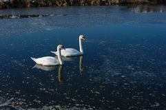 Two romantic swans Stock Images