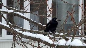 Two rooks sit on a tree branch during a snowfall and watch. Corvus frugilegus stock video