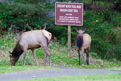 Two Roosevelt elk  grazing in Oregon State Park. Stock Image