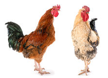 Two rooster Stock Photo