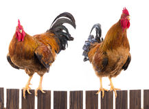 Two rooster Royalty Free Stock Photography