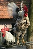 Two Rooster. Two proud white roosters,one stretching Stock Photos