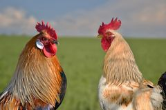 Two roosters against each other on field. Beautiful two roosters against each other on field Royalty Free Stock Images