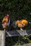 Two roosters Stock Photo