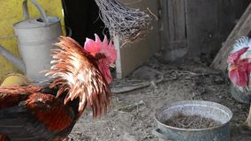 Two roosters are fighting in the shed.  stock video footage