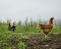 Two roosters looking a a chicken. Royalty Free Stock Photography