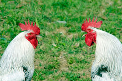 Two roosters Stock Photos