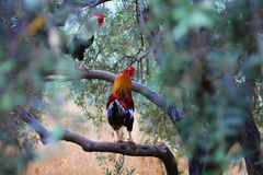 Two roosters Royalty Free Stock Images