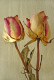 Two Rose. Photos of two dried roses Royalty Free Stock Photos