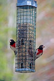 Two Rose-breasted Grosbeaks On A Feeder Stock Image