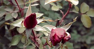 Two rose buds in autumn garden. Blooming season is over but rosebush is trying to bloom stock footage