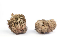 Two Rose of Jericho on white Stock Photo