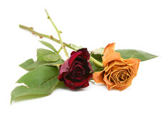 Two rose stems with dying flowers Stock Photos