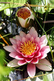 Two rose water lilies Stock Images