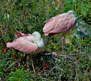 Two roseate spoonbills in tree Royalty Free Stock Photos