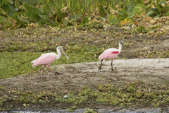 Two roseate spoonbills walking in a swamp in Christmas, Florida. Royalty Free Stock Image