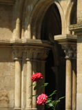 Two Roses. Garden of an old cathedral in the city of Coimbra, Portugal Royalty Free Stock Photo
