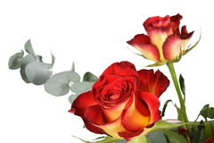 Two roses. Red and yellow colors isolated on white Royalty Free Stock Photos