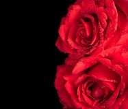 Two roses on black background, valentine day and love concept Stock Photography