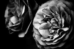 Two roses. In black and white Royalty Free Stock Images