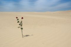 Two roses in the desert. Two red roses in the sand of a dune, love symbol Stock Image